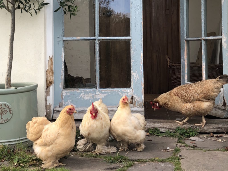 Your Guide to Keeping Chickens